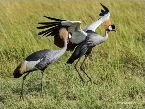 A Pair of Grey Crowned Cranes