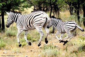 Flying Zebras