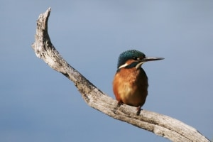 Juvenile Female Kingfisher
