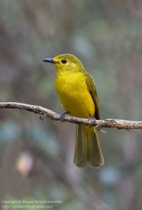 Yellow-browed Bulbbul