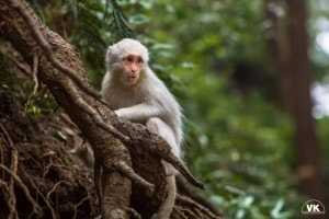 Rare Albino rhesus macaque