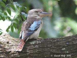 The voice of the Aussie Jungle - Blue-winged Kookaburra