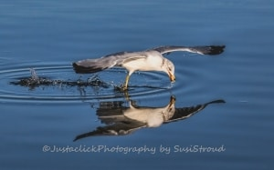 Reflection of a Ring-billed Gull