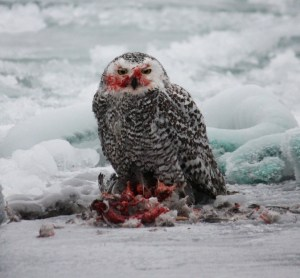 Snowy owl eating a duck