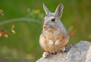 Andean Viscacha