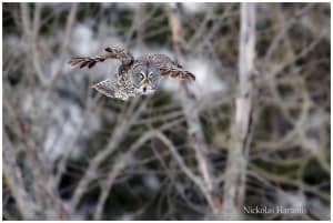 Great Grey Owl Inflight