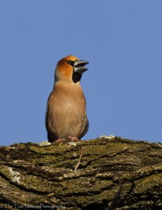 Hawfinch Boasting in the Sun