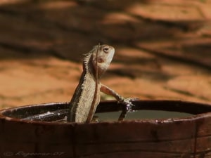 Bathing Lizard