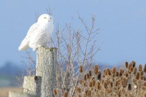Snowy Owl in Bright Sunlight