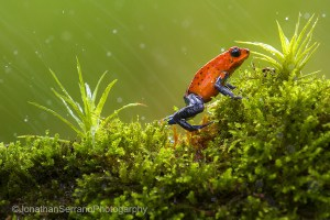 Strawberry poison-dart-frog
