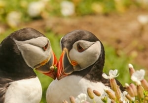Luvin Puffin