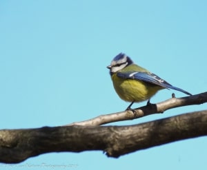 New Blue Tit Hair-do (Blue Tit)
