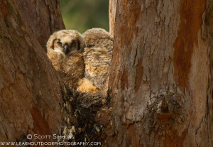 Great Horned Owl Nestlings