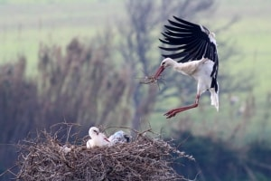 White Storks Nest Building