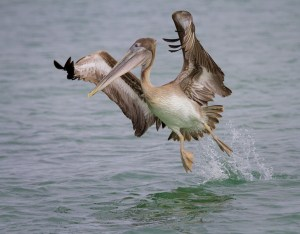 Pelican Take Off