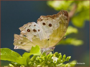 Forest Mother of Pearl Butterfly