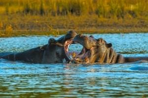 Hippo Fight