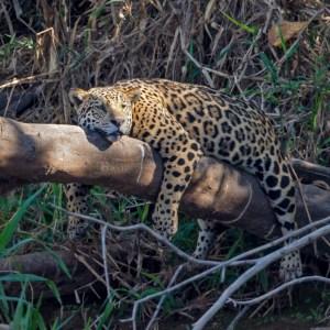 Jaguar at Rest