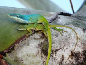 Two Green Anoles Mating