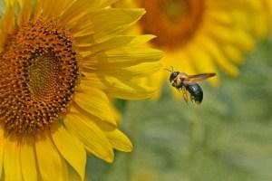 Eastern Bumble Bee Flying
