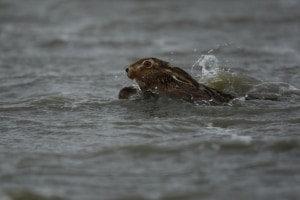 Hare Swimming for his life