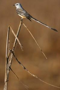 Scissor-tailed Flycatcher Symmetry