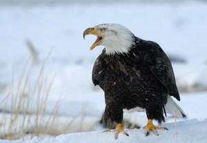 Bald Eagle on the snowy beach of Kachemak Bay