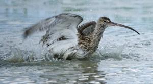 Curlew bathing