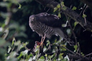 Female Sparrowhawk with Kill