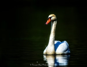 Swan in the Water
