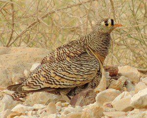 Liechtensteins Sandgrouse