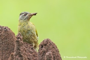 Female Streak-throated Woodpecker