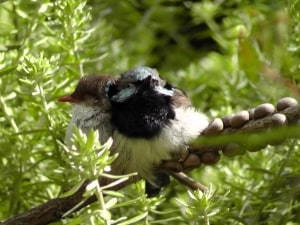 Superb Fairy Wren Lovers