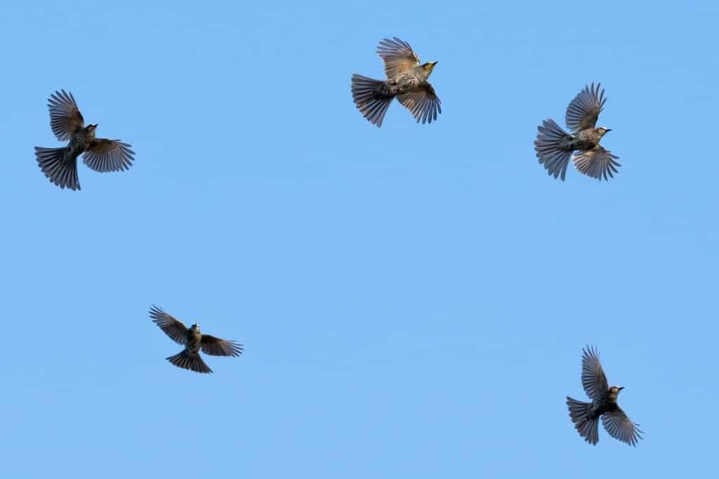 The Flight of the Bulbuls