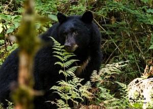 Tongass Bear