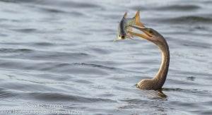 Anhinga with Fish