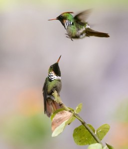 Frilled Coquette Fighting for Territory.