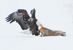 A Bald Eagle Steals a Golden Eagles Kill