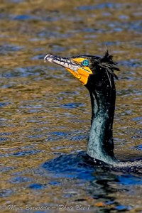 Double-crested Cormorant Display in Its Crest