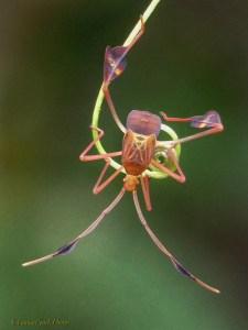 Flag-footed Bug (Anisoscelis Affinis)