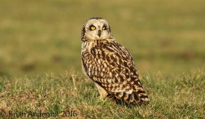 Short-eared Owl at Elmley