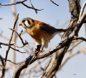 American Kestrel with Lizard Snack