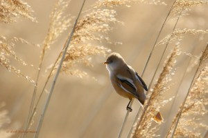 Morninglight - Bearded Reedling