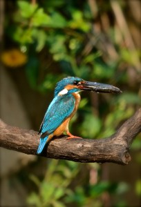 Common Blue Kingfisher