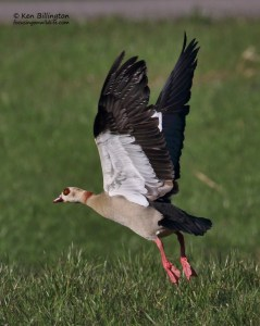 Slow Take-Off - Egyptian goose (Alopochen aegyptiacus)