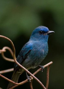 Nilgris Flycatcher