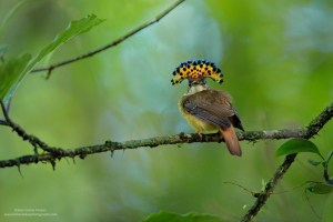 Royal Flycatcher
