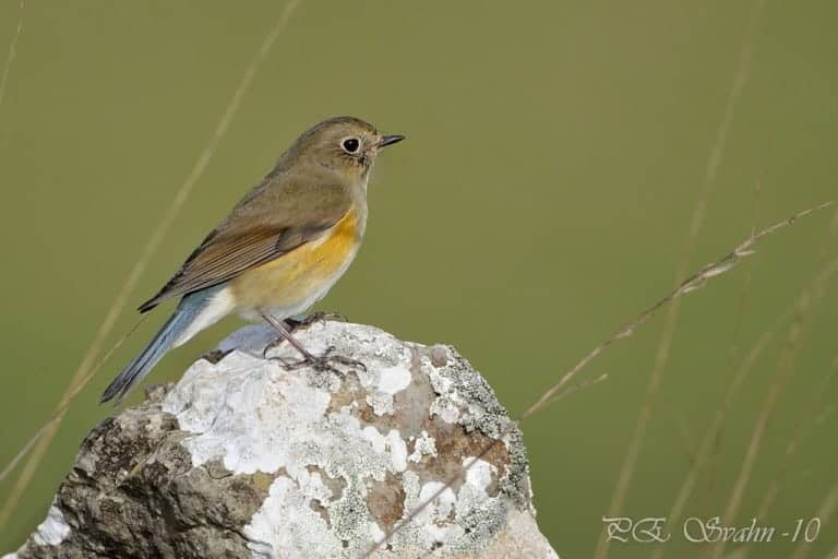 Female Red-flanked Bluetail, Tarsiger cyanurus