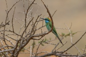 Arabian Green Bee-eater
