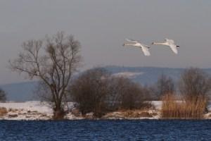 Swans in Tandem
